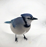 Kathleen Luther - My Blue Jay Friend