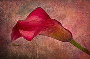 Cala Flower Posters - My Cala Poster by Angela Doelling AD DESIGN Photo and PhotoArt