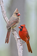 Male Cardinals Posters - My Cardinal Neighbors Poster by Bonnie Barry
