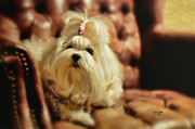 Toy Maltese Prints - MY Chair Print by Lois Bryan