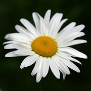 My Back Yard Prints - My Daisy Print by Denyse Duhaime