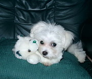 White Maltese Photos - My Dog Maggie by Joyce Gebauer