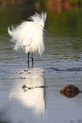 Egret Photos - My feathers are all Poofy by Ruth Jolly