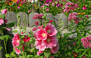 Hollyhocks Prints - My Garden 2011 Print by Steve Augustin
