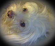Maltese Dog Posters - My Little Diva Poster by Barbara Dalton