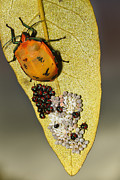 Stink Bug Digital Art - My little family 01 by Kevin Chippindall