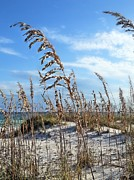 Seaoats. Sea Oats Posters - My Paradise  Poster by JC Findley