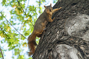 Eastern Fox Squirrel Metal Prints - My Peanut Metal Print by Robert Bales