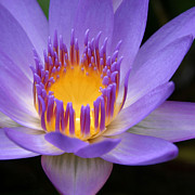 Lotus Flower Photos - My Soul Dressed in Silence by Sharon Mau