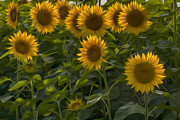 Sunflowers Digital Art - My Sunshine by Bill  Wakeley