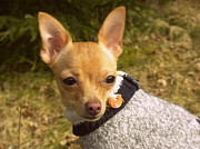 Puppies Photo Originals - My Sweet Chihuahua Chicklet by Karin Przybilski
