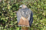 Red Tail Hawk Photo Photos - My Tail is Red by Wayne Sheeler