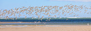 Shorebird Posters - My Tern Poster by Bill  Wakeley