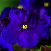 Tamyra Ayles - My Violet III