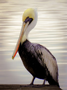 Pelican Photos - My Visitor by Karen Wiles
