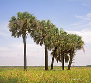 Sabal Framed Prints - Myakka Framed Print by John Douglas