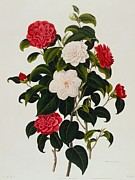Colored Flowers Painting Posters - Myrtle Leaved Camellia Poster by Clara Maria Pope