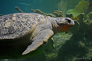 Green Sea Turtle Photos - Myrtle the Green Sea Turtle by Amber R-W Eng