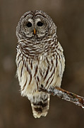 Bird Of Prey Greeting Card Posters - Mysterious Barred Owl in the Forest Poster by Inspired Nature Photography By Shelley Myke