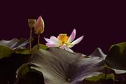 Byron Varvarigos - Mysterious Lotus