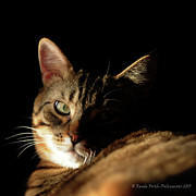 Cat Pictures Posters - Mysterious Tabby Cat Poster by Renee Forth Fukumoto