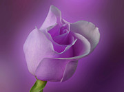 Indiana Flowers Prints - Mystical Purple Rose Print by Sandy Keeton