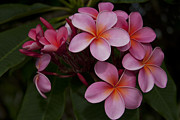 Flowering Trees Prints - Na Lei Pua Melia O Wailua - Pink Tropical Plumeria Hawaii Print by Sharon Mau