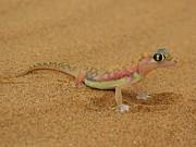 Ramona Johnston - Namib Desert Gecko