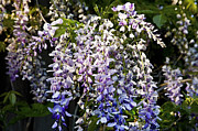 Flowering Vines Posters - Nancys Wisteria 3 DB Poster by Rich Franco