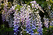 Flowering Vines Posters - Nancys Wisteria 3 Poster by Rich Franco