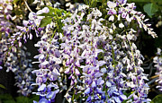 Florida Flowers Metal Prints - Nancys Wisteria cropped DB Metal Print by Rich Franco