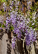 Florida Flowers Posters - Nancys Wisteria DB Poster by Rich Franco