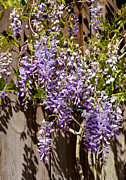 Florida Flowers Posters - Nancys Wisteria Poster by Rich Franco
