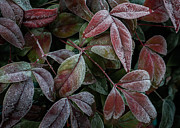Jamesbarber Prints - Nandina Chill Print by James Barber