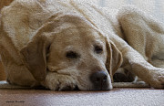 Labrador Digital Art - Nap Time 2 by Gerald Marella