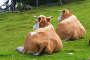 Cattle Digital Art - Nap Time by Ayse T Werner