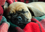Pug Photos - Nap Time by Lisa  Phillips