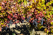 Brian Williamson - Napa Fall Grapes