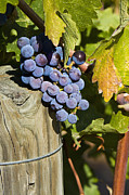 Merlot Photo Originals - Napa Grapes in Vineyard by Michael Walborn