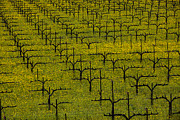Vineyards Photo Posters - Napa Mustard Grass Poster by Garry Gay
