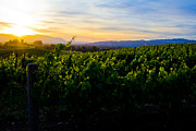 Wine Vineyard Photos - Napa Valley by John McGraw