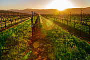 Sunrise Pastels Posters - Napa Vineyard Poster by Francesco Emanuele Carucci