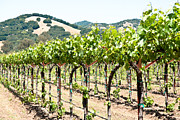 Vineyard In Napa Photo Posters - Napa Vineyard Grapes Poster by Shane Kelly