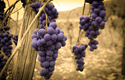 Riesling Framed Prints - Naples Valley Grapes Framed Print by Michael Carter