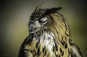 LeeAnn McLaneGoetz McLaneGoetzStudioLLCcom - Napping Great Horned Owl