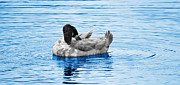Goose In Water Posters - Napping Poster by Linda Segerson