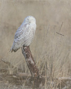 Relaxed Prints - Napping Snowy Owl Print by Angie Vogel