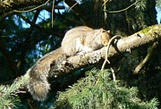 Tia Marie Mcdermid Art - Naptime Squirrel by Tia Marie McDermid