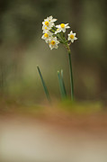 Daffodils Photographs Prints - Narcissus Print by Alon Meir
