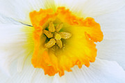 Larry Ricker - Narcissus Closeup